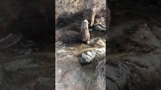 Toronto Zoo Keeper Talk With Spotted-Necked Otters on Facebook LIVE