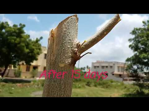 FASTEST METHOD OF GROWING MORINGA TREE.Miracle in growing Miracle tree.