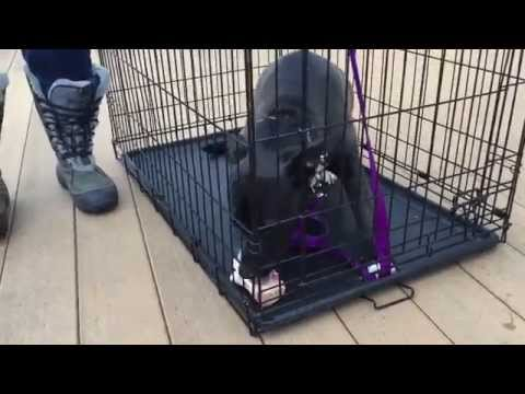 Resource Guarding Pit bull Rehabilitation