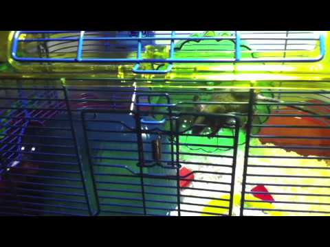 Wild Mouse Got into the Hamster Cage