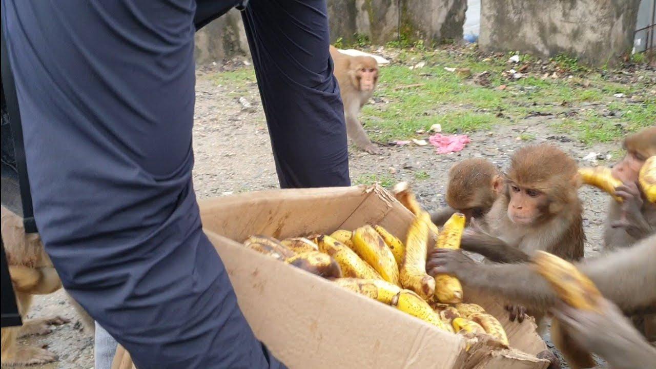 feeding banana to the hungry monkeys