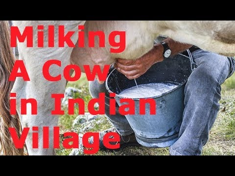 Milking A Cow in Rural Indian Village