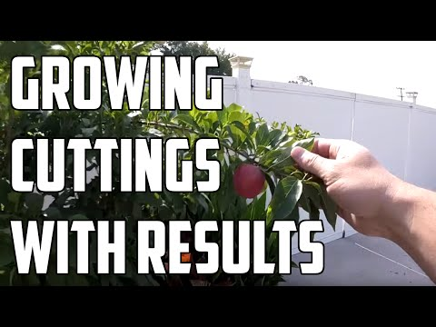Growing Fruit Trees From Cuttings - How to with Results!