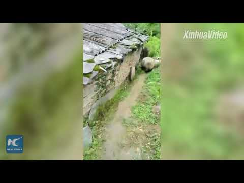 Giant panda roaming into village in Sichuan, China