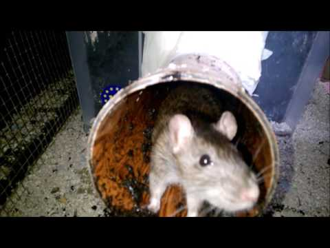 My rats digging and plant enrichment (didn't last long...).
