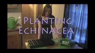 Planting Echinacea