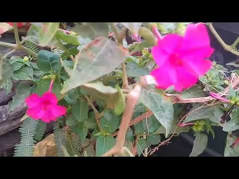 No_159 How to collect/ preserve seeds of mirabilis jalapa/ 4 o' clock/ summer plant ( Hindi/Urdu)