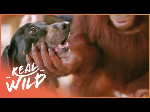 Xxx Mp4 Orangutan Adopts A Dog Real Wild 3gp Sex