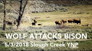 WOLF ATTACKS BISON - Slough Creek May 3, 2018