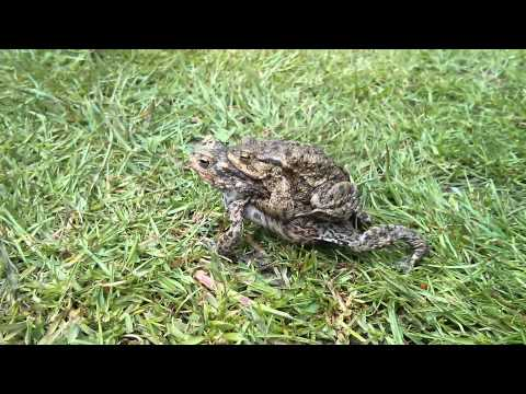 Lazy frog 2
