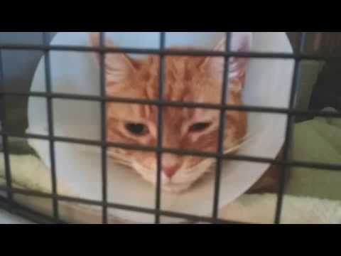 Grumpy Cinnamon the cat after surgery
