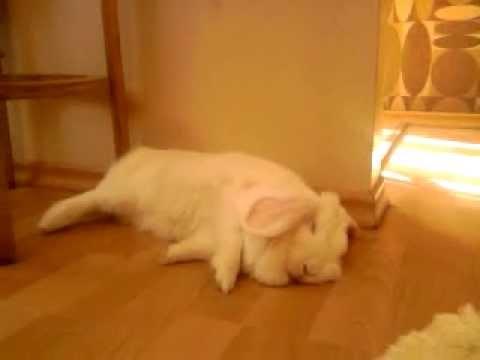 my rabbit falling asleep to one side