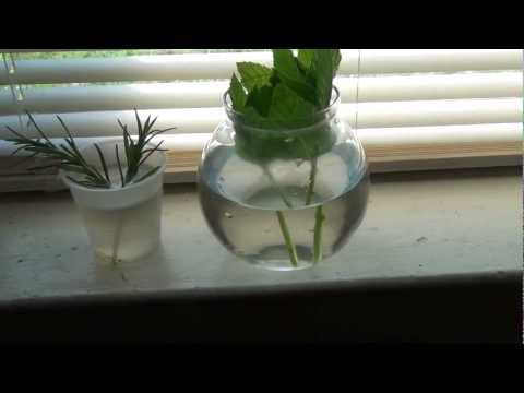Propagating or Growing Herbs from Cuttings