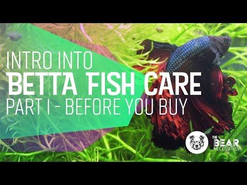 Intro into Betta Fish Care | 🐻  Bear Necessities