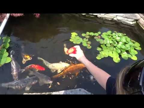 Koi Fish Feeding Time.  Back yard pond.  Very relaxing.