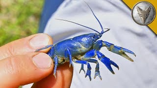 Download NEW SPECIES FOUND?! Rare Blue Crayfish! Video