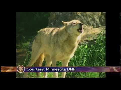Wolf Hunting in Minnesota - Lakeland News at Ten - January 13, 2012.m4v