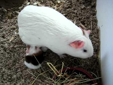 1 week old baby guinea pigs nursing