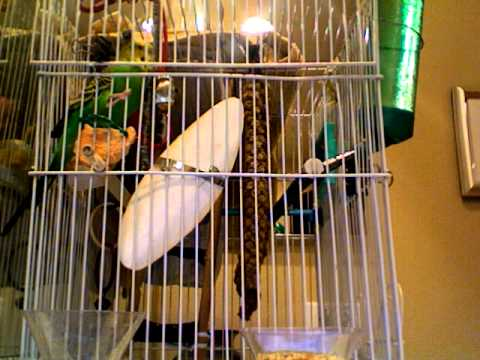 Is this Parakeet Happy or Stressed?