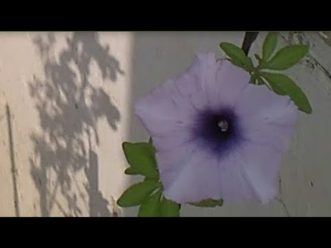 how to germinate morning glory seeds-fast and easy