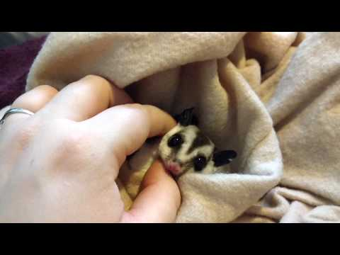 Baby sugar  glider's hand and petting