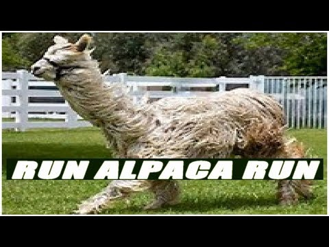 Who Said Alpacas Can't Run