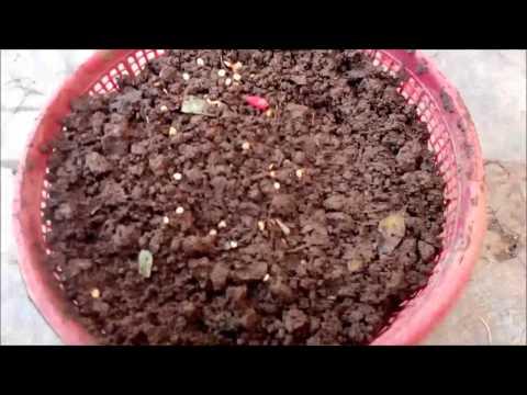 Cara Menanam Cabai Rawit Dalam Pot