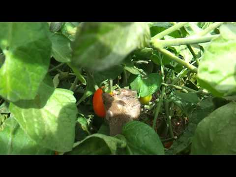 Two garden mice eating a tomato