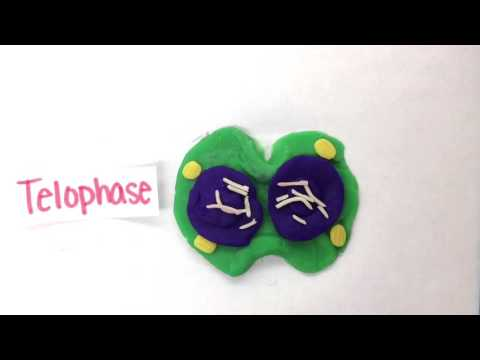 Regular and Cancer Cell Division Stop Motion Animation w/ music