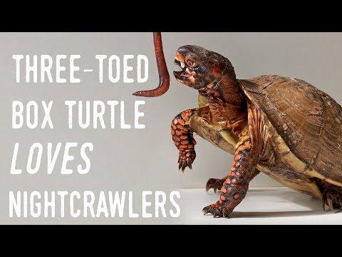 WORM MURDER: Feeding my Box Turtle Canadian Nightcrawlers