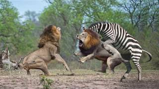 HUNTER BECOMES THE HUNTED | Mother Zebra Save Her Newborn From Lion , Giraffe vs Lion