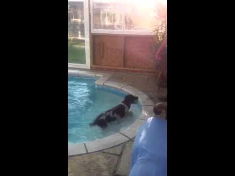 How to bathe a springer spaniel!