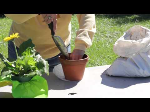 How to Repot a Gerbera : Gerbera Plant Care