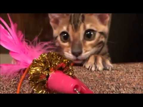 Bengal Kitten learning to climb the Lotus Cat Tower