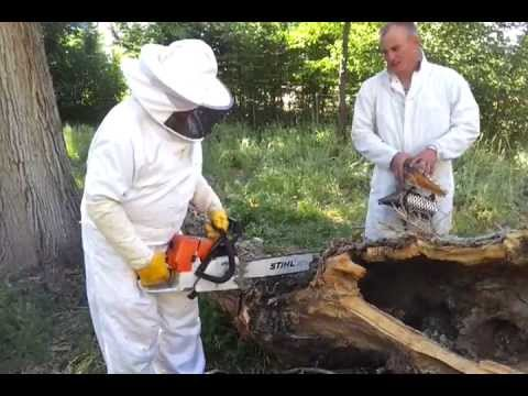 Getting Ready to Cut the Tree to Remove the Bee Swarm, Part 2 with Beekeeper Don and Brad