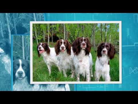 French Spaniel - dog - french spaniel dog breeders