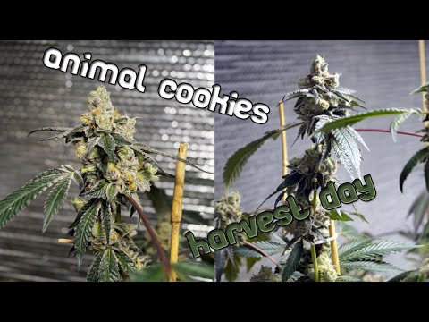 Animal Cookies Harvest Day 66 - One final look before the chop!