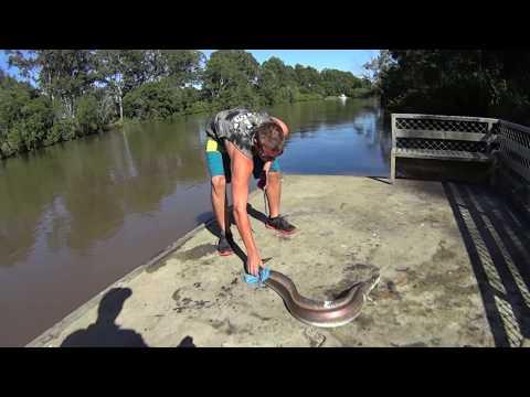 Massive Logan River Eel !