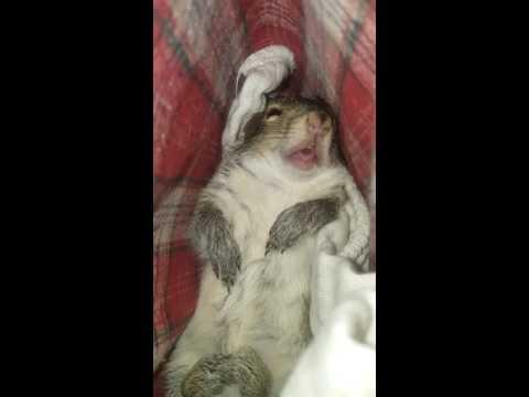 Cutest sleeping baby squirrel