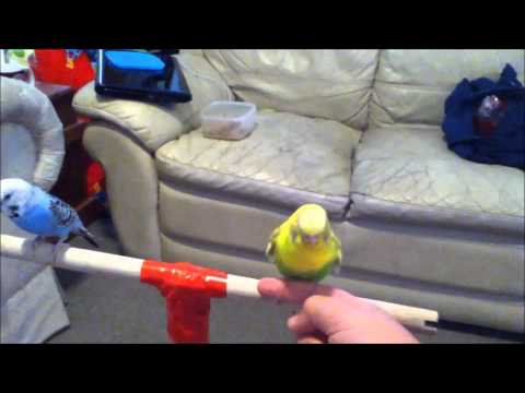 How to get your Budgie to trust you