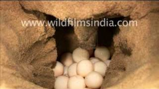 Olive Ridley Turtle laying eggs