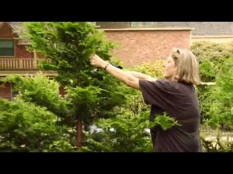 How To Prune a Hinoki Cypress - Video Tutorials with Plant Amnesty