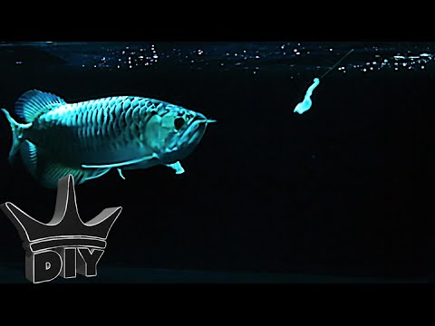 HOW TO: Trick your aquarium fish into eating! STEP BY STEP