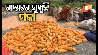 Maize Farmers In Odisha Grapple With Lack Of Storage Facilities
