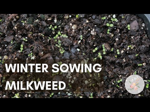 Winter Sowing Milkweed - Growing Plants for Monarch Butterflies