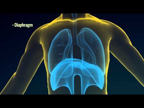 2. How Do Your Lungs Work?