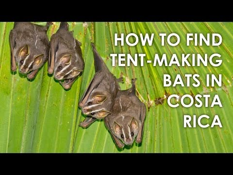 How to find Tent-making Bats in Costa Rica