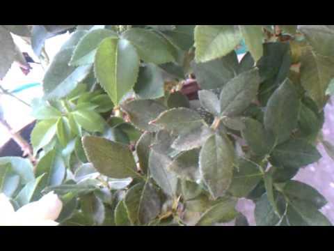 Spider mites on knockout rose