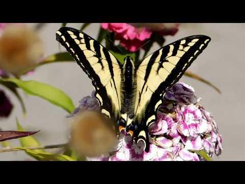 Butterflies, Flowers & Peace July 4, 2018      Growing Marijuana for Fun & Relaxation