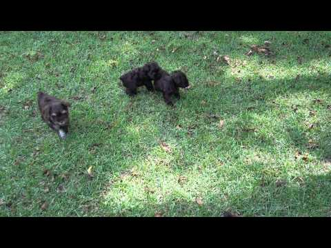 AKC Registered Schnauzer Puppies
